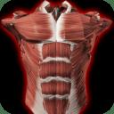 Sistema Muscular 3D (Anatomía)